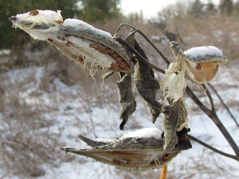 Milkweed nell'inverno immagini stock