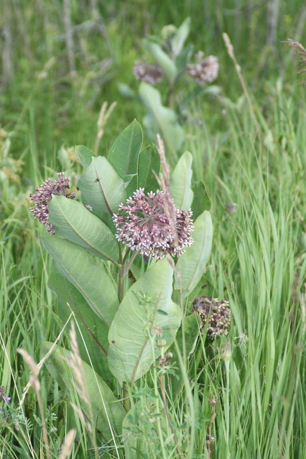 Milkweed, syriaca d'Asclepias (floraison) images libres de droits
