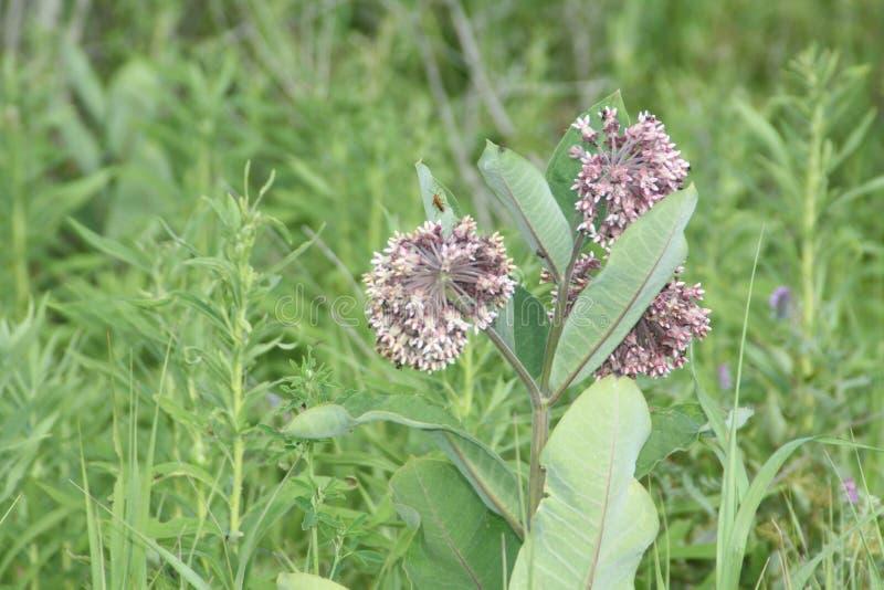 Milkweed, syriaca d'Asclepias (floraison) image libre de droits