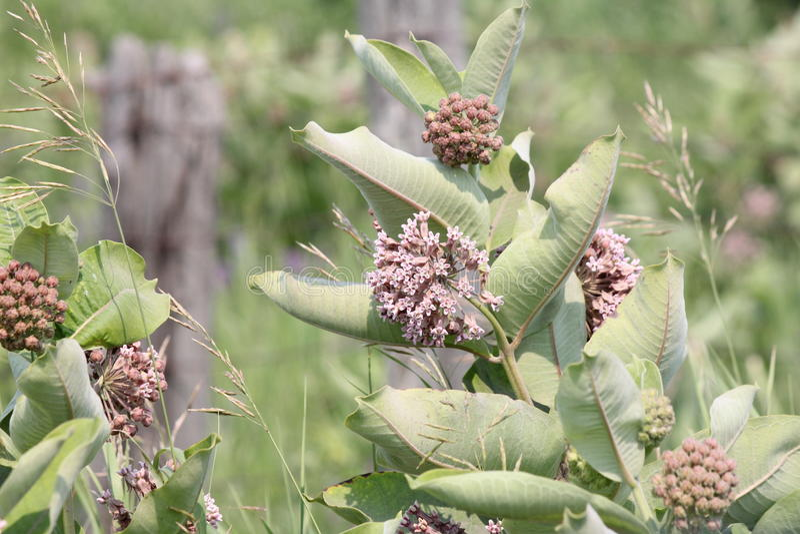 Milkweed, syriaca d'Asclepias (floraison) photo stock