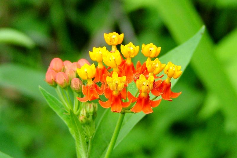 Milkweed tropical photo stock