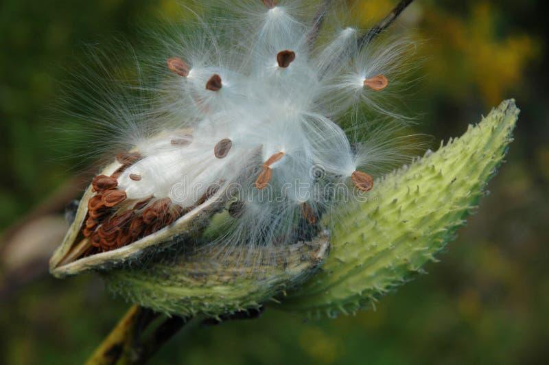 milkweedfrö royaltyfria foton