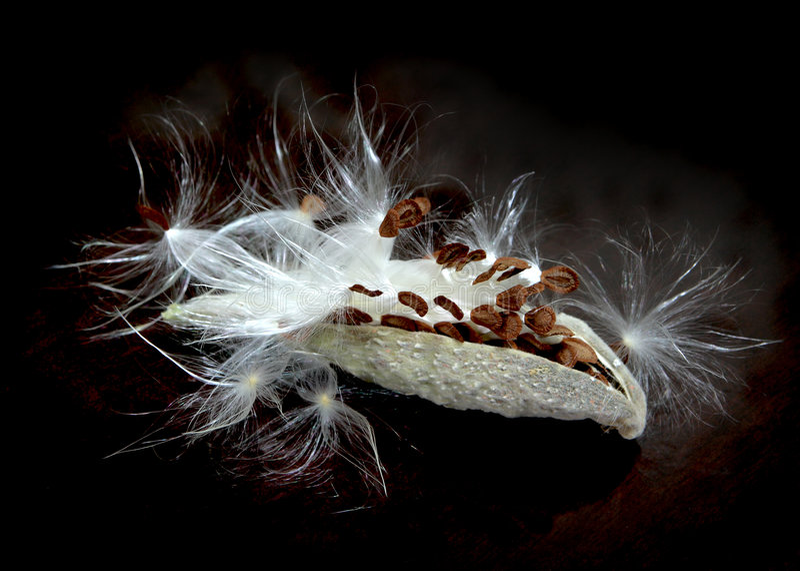 milkweedfrö arkivbild