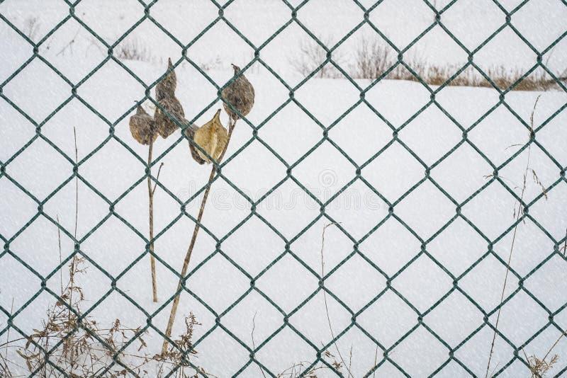 Milkweedkruiden op een de winter sneeuwdag stock foto's