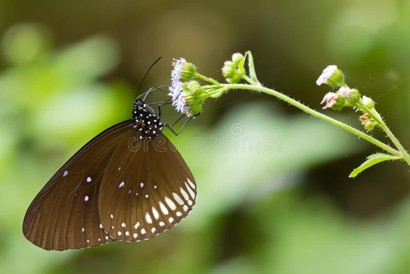 Milkweedschmetterling im Braun mit den weißen Stellen, die auf Blume Euploea einziehen stockbild