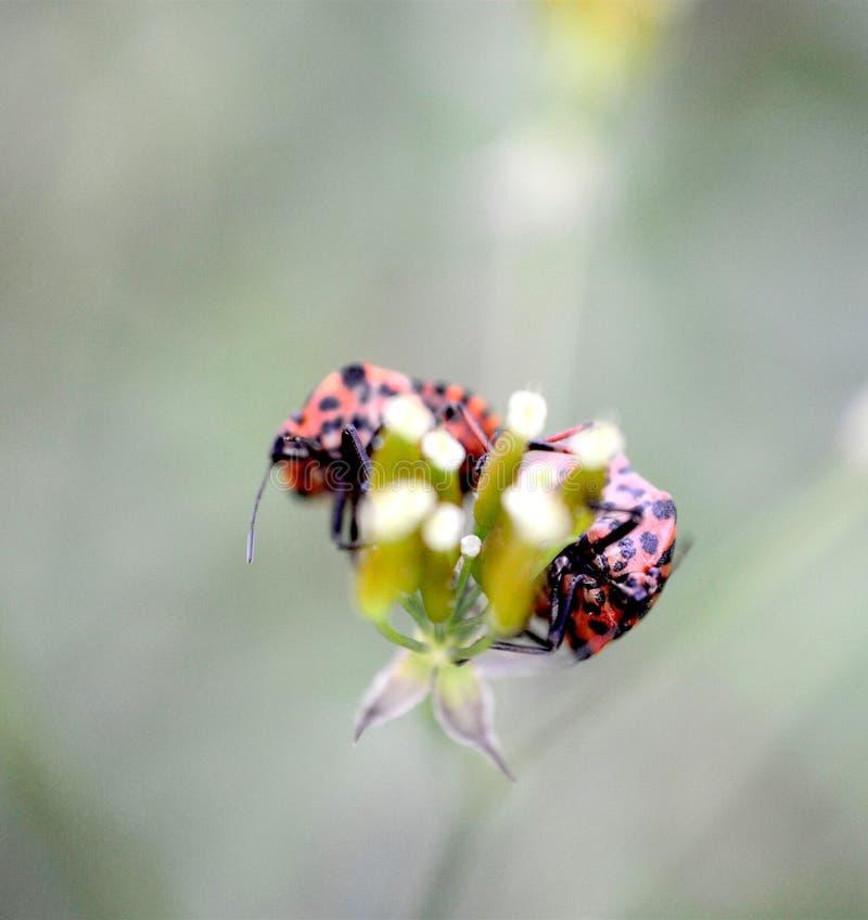 Milkweedwanze auf einer Grünpflanze der Wiese lizenzfreies stockbild