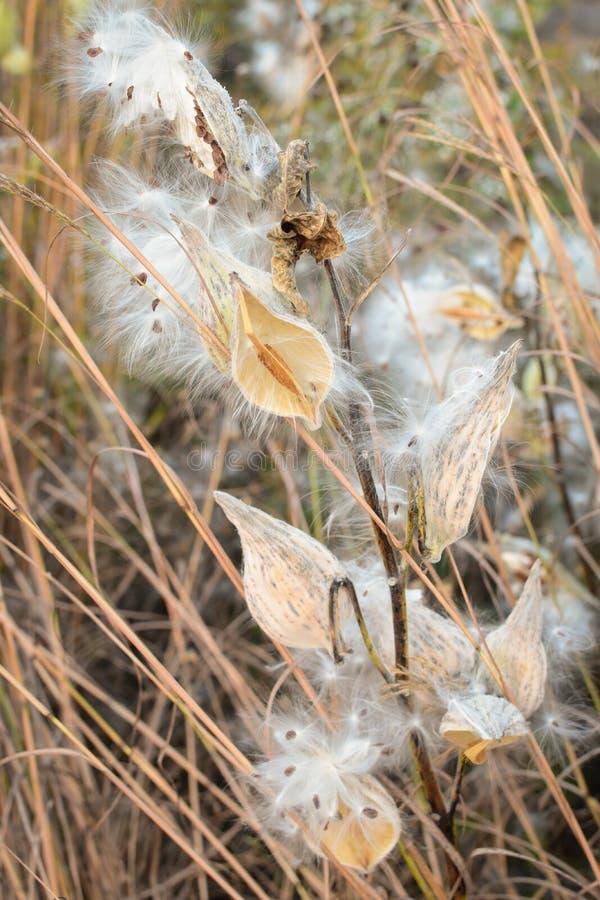 Milkweedzaad die in Wind blazen stock foto