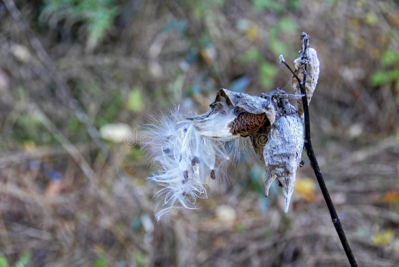 Milkweedzaden die van Peul barsten royalty-vrije stock afbeelding