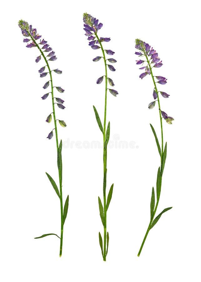 Milkwort comune urgente e secco del fiore, isolato fotografie stock libere da diritti
