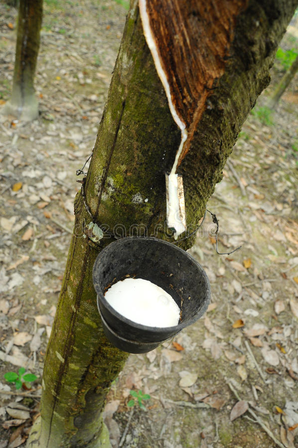 Milky lateks wydobujący od gumowego drzewa lub a K A Hevea Brasiliensis jako źródło naturalna guma obraz royalty free