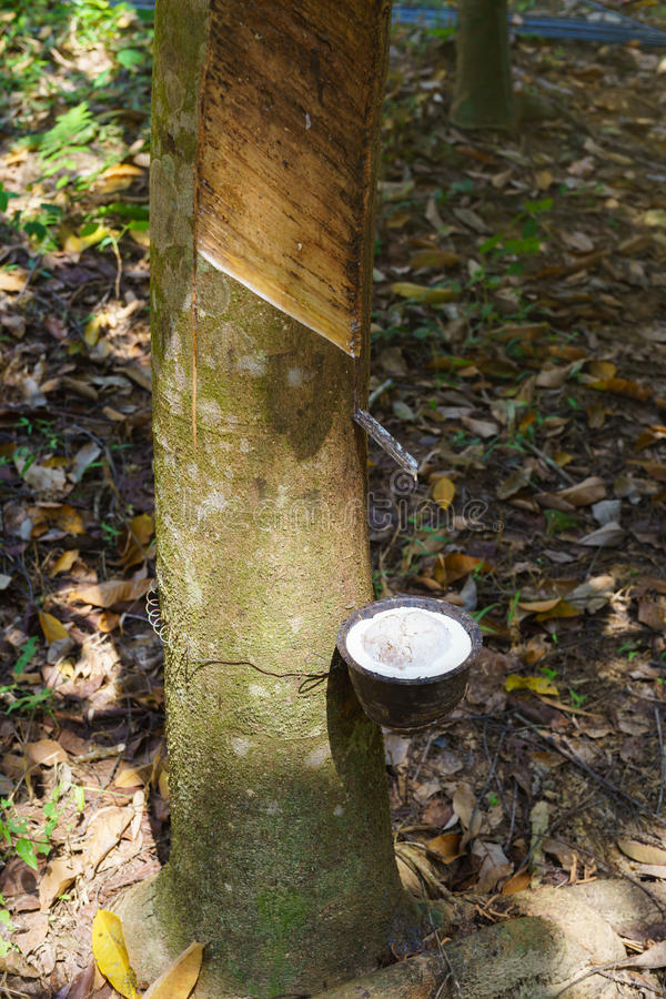 Milky latex extracted from rubber tree. royalty free stock images