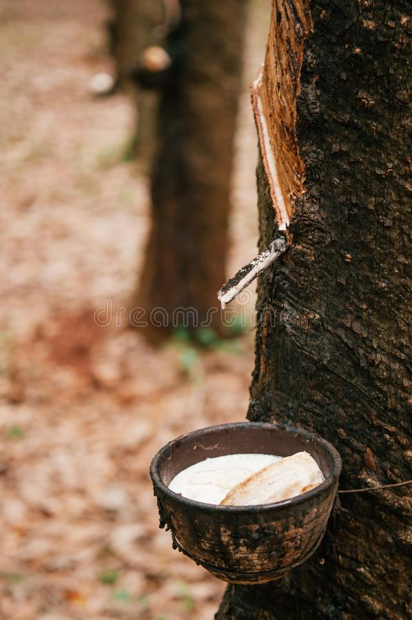 Milky latex in wooden bowl from Para rubber tree in southern Thailand. royalty free stock photo