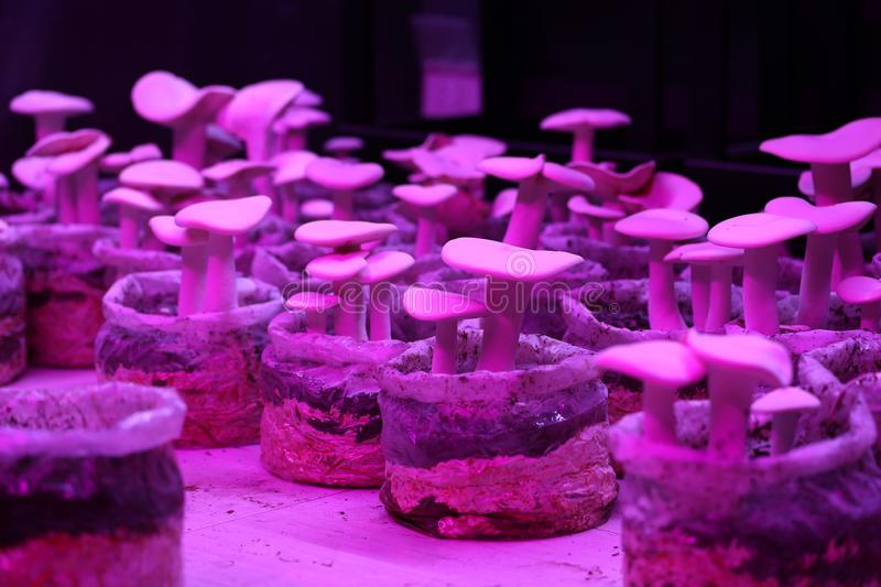 Milky-mushroom growth on the soil in a lab that is in a light pink state stock photos