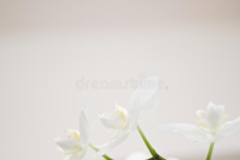 Milky orchid. White orchid detail with bokeh royalty free stock photography