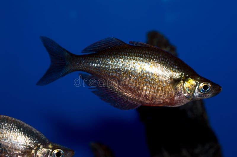Millénaire masculin Rainbowfish photo libre de droits