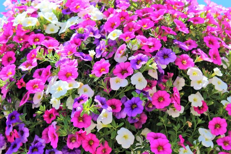 Millón de Belces florecen en colores múltiples en una cesta de la ejecución fotos de archivo
