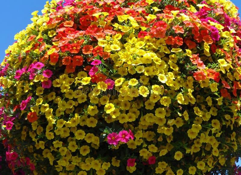 Millón de Belces florecen en colores múltiples en una cesta de la ejecución fotografía de archivo libre de regalías