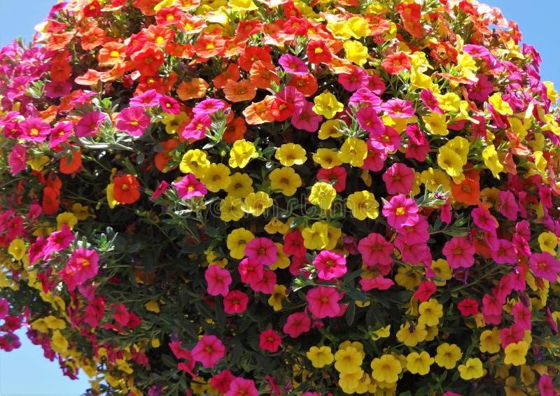Millón de Belces florecen en colores múltiples en una cesta de la ejecución fotografía de archivo