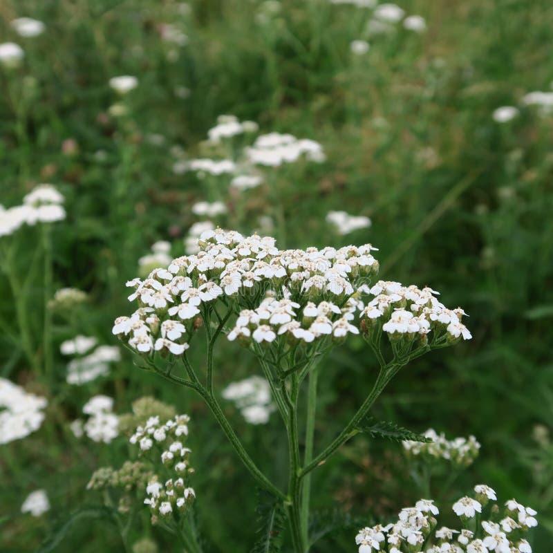 Download Millefolium di Achillea immagine stock. Immagine di foreground - 56890789