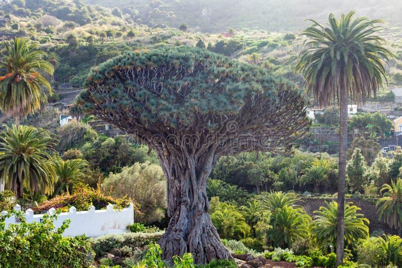 Millennial smoka drzewa dorośnięcie w Icod De Los Vinos, Tenerife, C obrazy royalty free