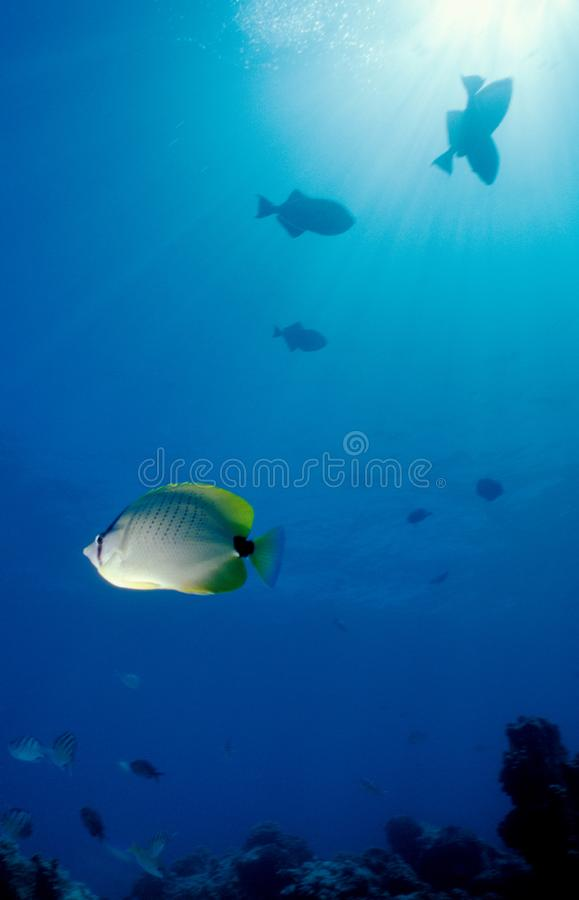 Milletseed Butterfly Fish Free Stock Photos
