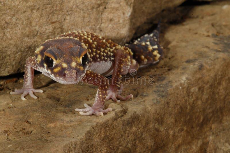milli Grueso-atado de Underwoodisaurus del â del Gecko foto de archivo