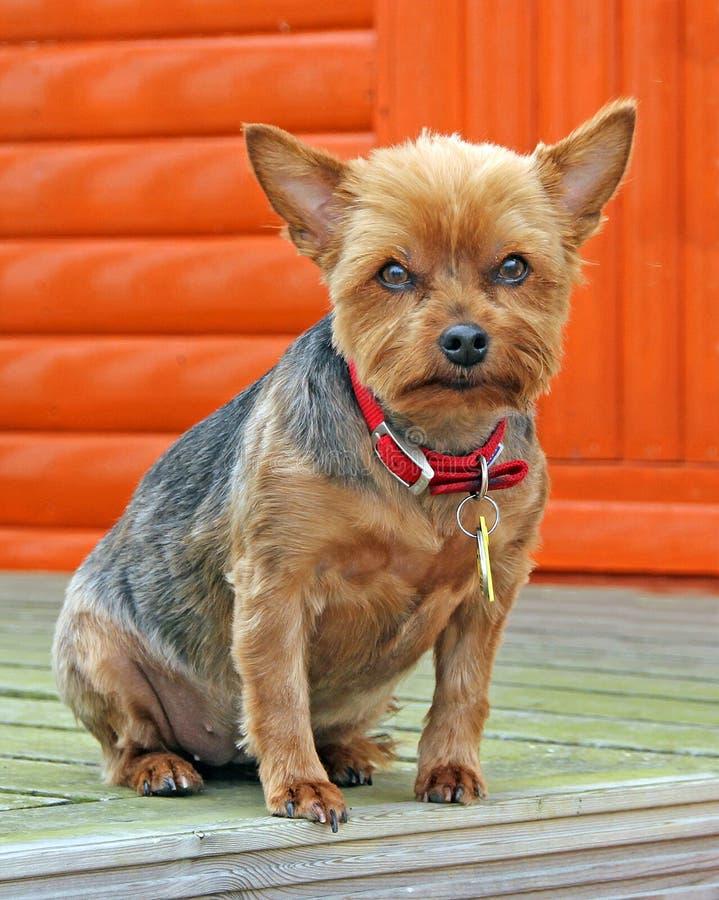 Millie hunden för yorkshire terrier arkivbilder