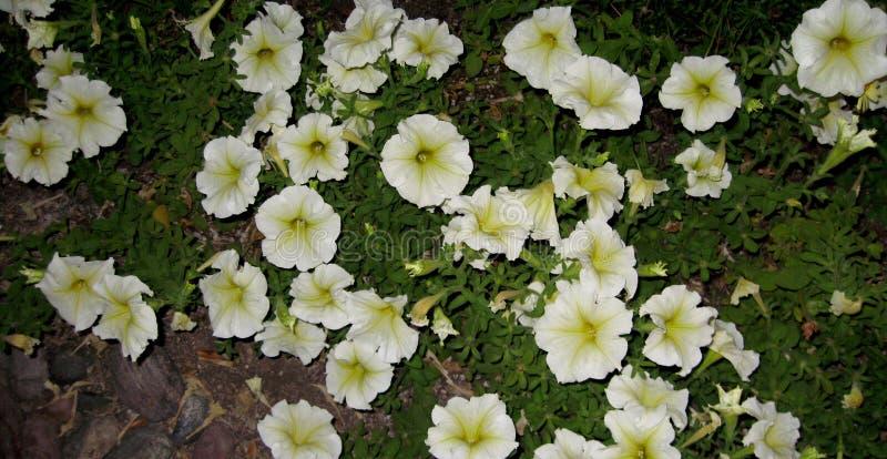 Milliflora de pétunia - blanc de cascade de Picobella photographie stock libre de droits