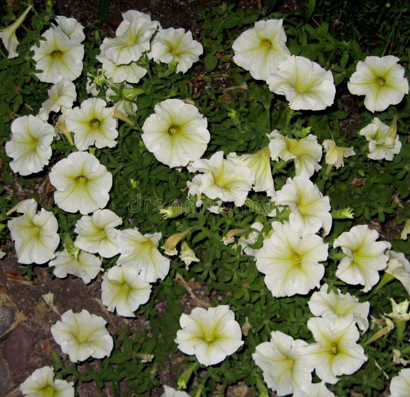 Milliflora de pétunia - blanc de cascade de Picobella photos stock