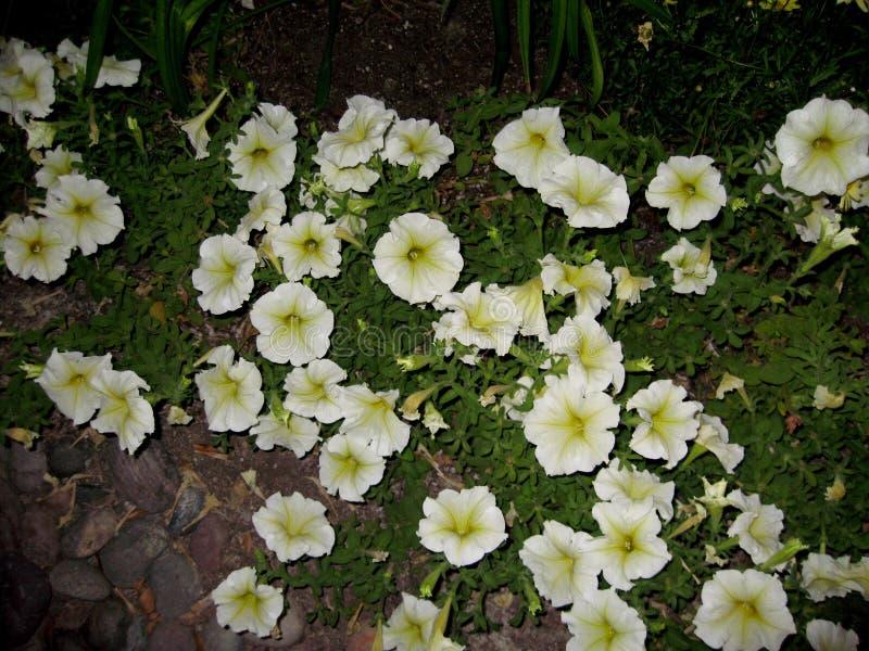 Milliflora de pétunia - blanc de cascade de Picobella image libre de droits