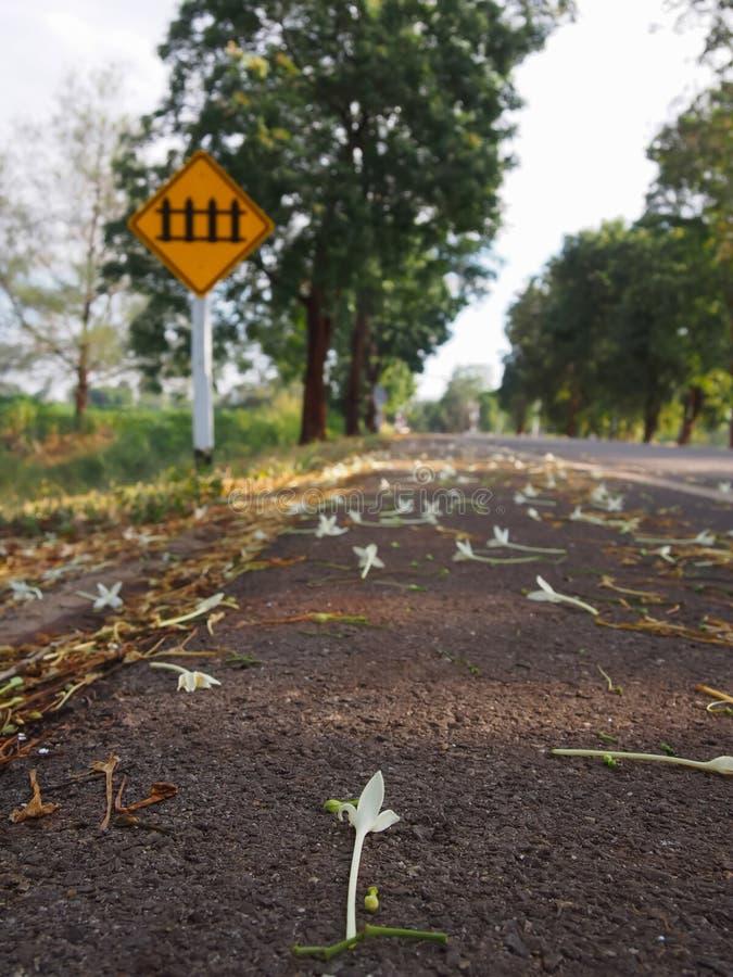 Millingtonia hortensis Biali kwiaty i mali kwiaty spada na poboczu I żółty trasa znak I zieleni drzewa wewnątrz zdjęcia stock