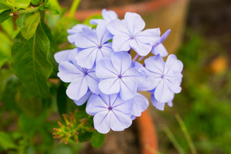 Million Dollar Flower, blooms nonstop without the need for deadheading royalty free stock images