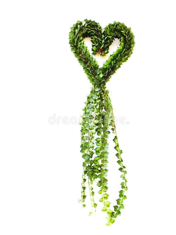 Million Hearts house plant hanging heart shape on white background royalty free stock photography