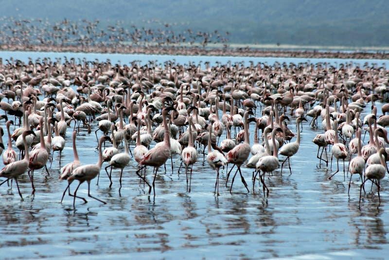 Million pink flamingos stock images