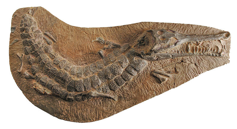 125 million years old crocodile fossil. Found in asia stock photo