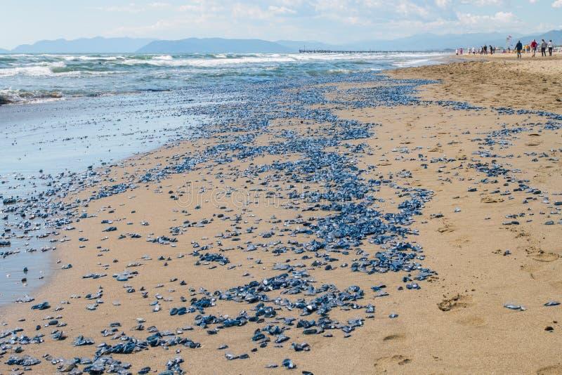 Millionen Tod-vellellas (Seefloss, Durch-dwindseemann, purpl lizenzfreies stockbild