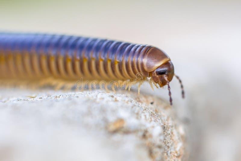 Millipede κεφάλι στοκ φωτογραφία με δικαίωμα ελεύθερης χρήσης