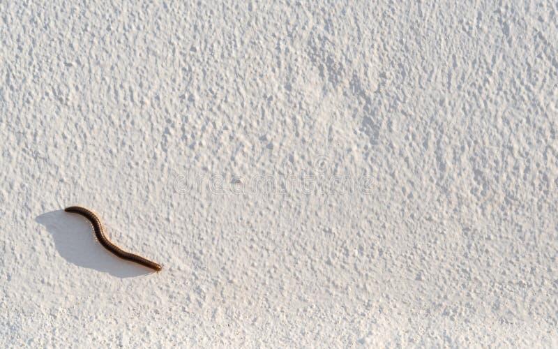 Millipede με τη μακριά σκιά σε μια άσπρη πρόσοψη στοκ φωτογραφία με δικαίωμα ελεύθερης χρήσης