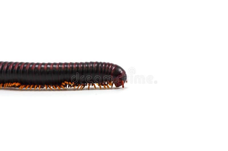 Millipede που απομονώνεται στο άσπρο υπόβαθρο στοκ φωτογραφία με δικαίωμα ελεύθερης χρήσης