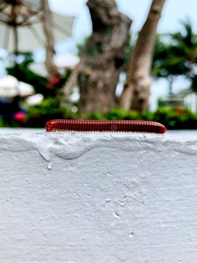 Millipede που περπατά στην κορυφή του άσπρου τοίχου τσιμέντου μπροστά από τον υπαίθριο κήπο στοκ φωτογραφία με δικαίωμα ελεύθερης χρήσης
