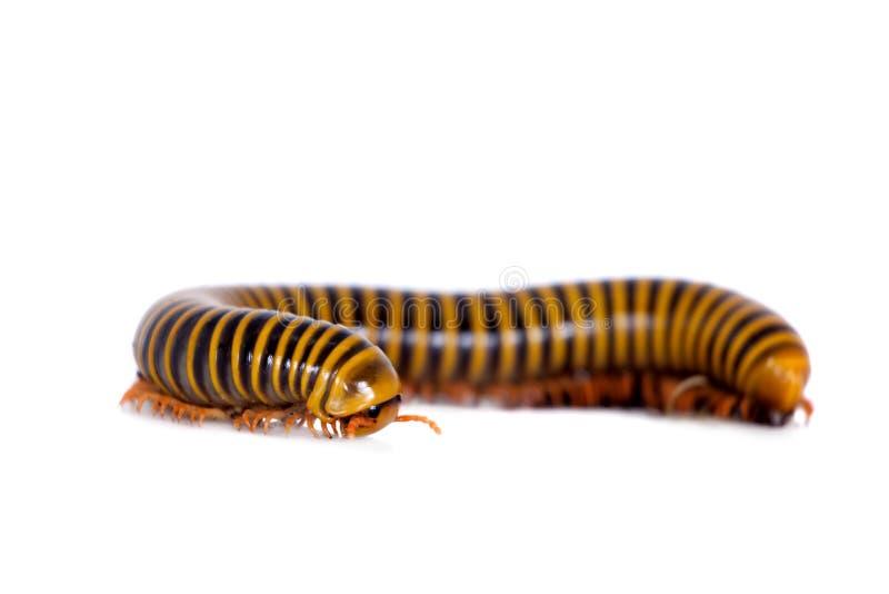 Millipede στο λευκό στοκ φωτογραφίες με δικαίωμα ελεύθερης χρήσης