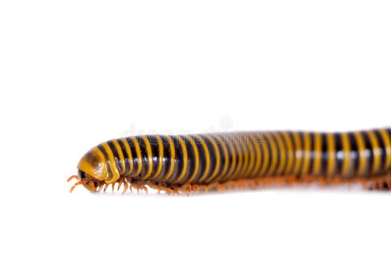 Millipede στο λευκό στοκ φωτογραφίες