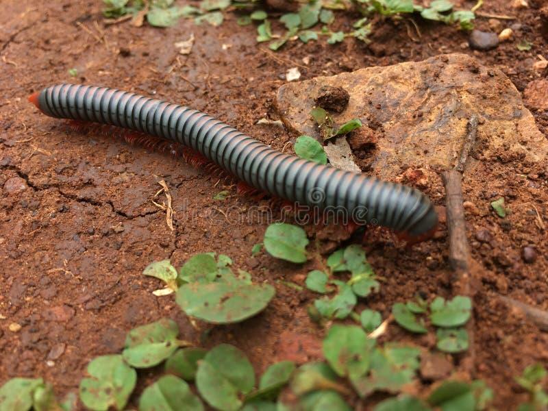 millipede στοκ φωτογραφία με δικαίωμα ελεύθερης χρήσης