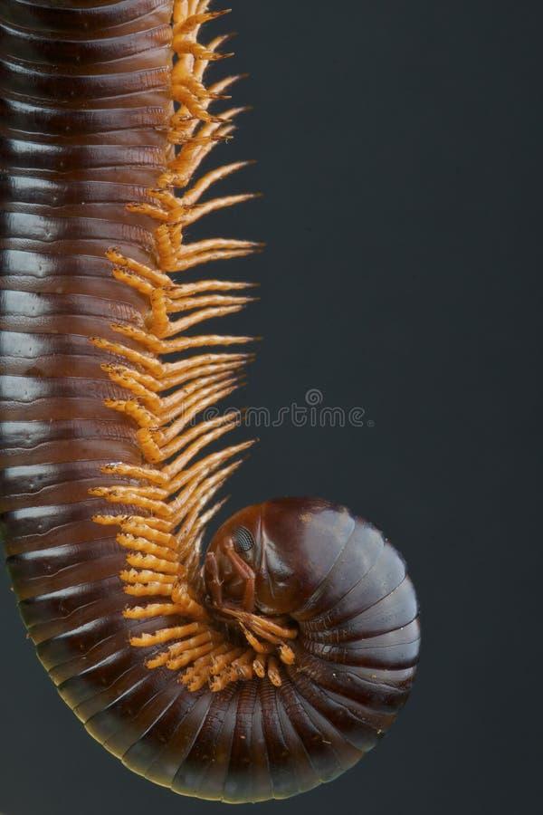 Download Millipede stock photo. Image of arthropod, antennae, herbivorous - 24985548