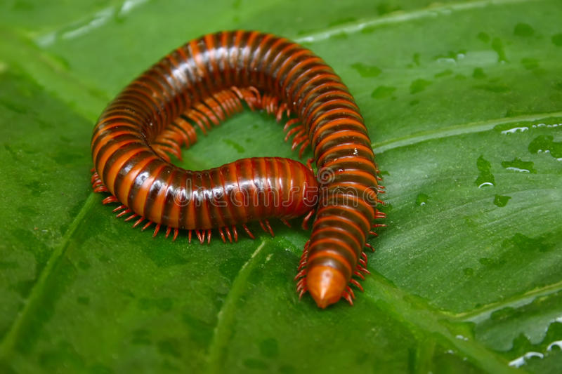 Millipede royalty free stock photography
