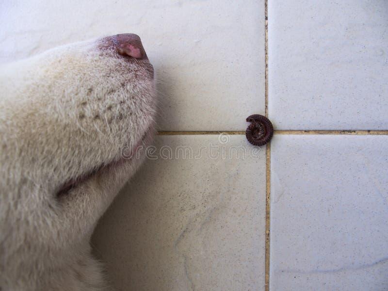 The Millipede Curl up near The Siberian Husky. Sleeping Dog royalty free stock photos