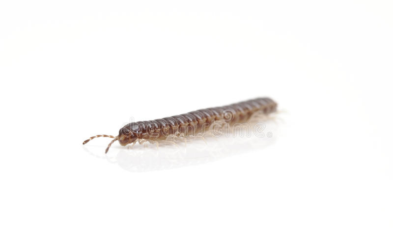 Millipede isolated against white background royalty free stock photography