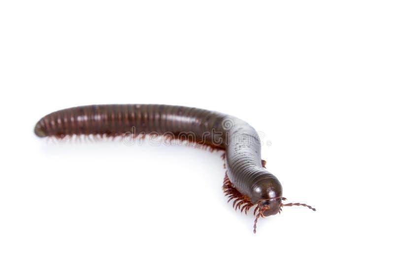 Millipede, Myriapoda στο λευκό στοκ εικόνες με δικαίωμα ελεύθερης χρήσης