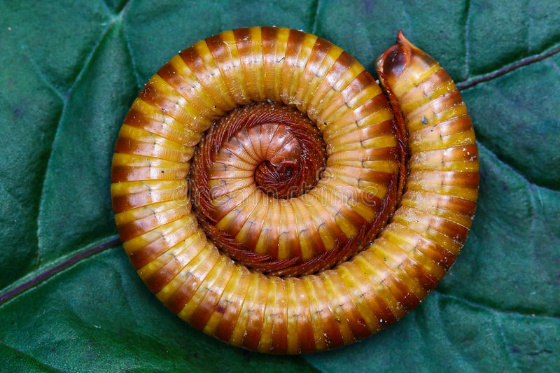 Crawly Yellow Spotted Cyanide Millipede Stock Image - Image