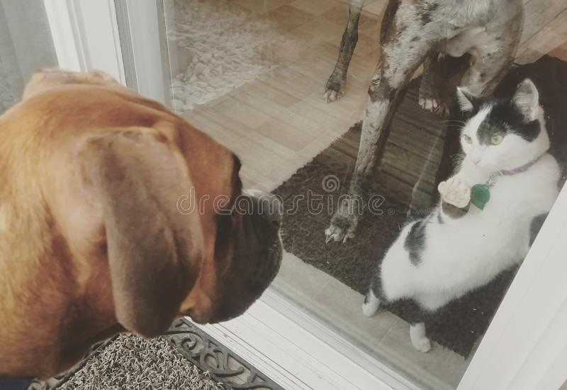 Milo-dog loves the kitties. Boxer royalty free stock photo